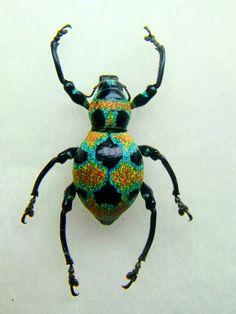Polka Dotted Clown Weevil (Pachyrrhynchus orbifer)