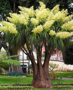 Elephant's Foot / Pony-tail Palm: Beaucarnea recurvata [Family: 	Asparagaceae] - In Bloom