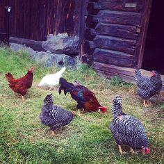 Koselig besøk på Maihaugen tidligere i år, gleder meg til vi får egne høns på småbruket vårt ☺️👏 #maihaugen #lillehammer #visitoppland #oppland #høns #høner #gård #småbruksdrømmen #småbruk #gøypålandet #allnatureshots #AnimalElite #dyreliv #landliv #landliglykke #landligsjarm #norway