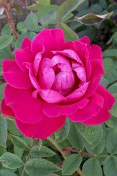 La rose Parfum de l'Haÿ exhale des fragrances si puissantes que son obtenteur pensait la proposer à l'industrie de la parfumerie. C'est un arbuste vigoureux au port dressé, à fleurs doubles, en coupe, d'un rouge cramoisi à reflets lilacés, réunies en bouquets. Bonne remontée, bonne résistance aux maladies. Hybride de rugosa. Gravereaux, 1901.