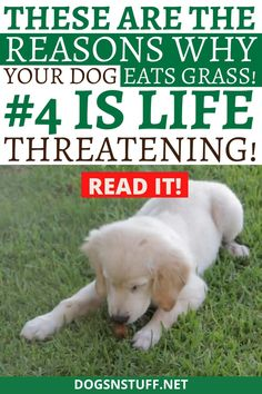 Pet Dogs, Dogs And Puppies, Dog Cat, Dog Care Tips, Pet Care, Dogs Eating Grass, Labrador Retriever, Dog Health Tips, Dog Health Care
