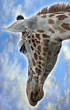 ~~ Giraffe by Butch Coolidge~~