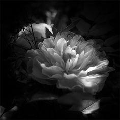 La flore en noir et blanc