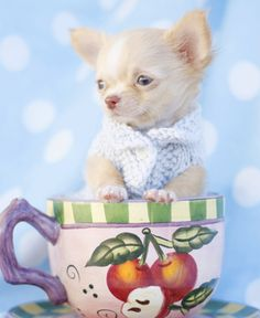 Chihuahua in a Teacup by teacupspuppies.com
