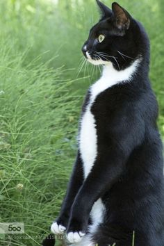 goatee tuxedo kitty then  now  cats cat pose cat love