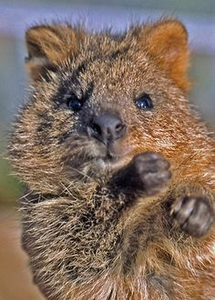 Kuoka or quokka? Friendly animal from Australia Happy Animals, Nature Animals, Animals And Pets, Funny Animals, Cute Animals, Amazing Animals, Unusual Animals, Animals Beautiful, Gato Animal