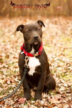 Meet Calvin, an adoptable Pit Bull Terrier looking for a forever home. If you're looking for a new pet to adopt or want information on how to get involved with adoptable pets, Petfinder.com is a great resource.