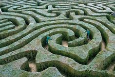 Gardeners use stilts to clip the 1.7 miles of English Yew that makes up the maze at Longleat House in Wiltshire. Source: Garden Design by Carolyn Mullet