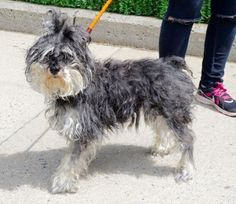 COOKIE – A1079392 **RETURNED 07/13/16** SPAYED FEMALE, BLACK / GRAY, SCHNAUZER MIN MIX, 7 yrs RETURN – PLACED, HOLD RELEASED Reason PET HEALTH Intake condition ILLNESS Intake Date 07/13/2016, From NY 10031, DueOut Date 07/13/2016,
