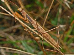 https://flic.kr/p/dDPV85 | Mantidae - Mantis religiosa-3
