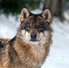 Wolf Photos, Wolf Pictures, Animals Of The World, Animals And Pets, Beautiful Creatures, Animals Beautiful, Wolf World, Wolf Husky, Wolf Photography