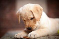 """Here's another impawsibly cute photo of Denis Wilson's yellow lab, Louie. """"No offense to any of my former bipedal colleagues out there, but the best coworker I've ever had is a puppy,"""" writes Denis. We hope his old officemates aren't on Pinterest!"""