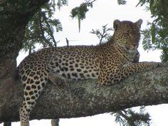 Leopard at Serengeti National Park, Tanzania