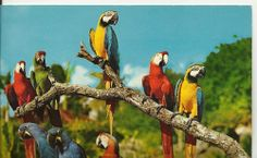 #Miami #Florida #Vintage Postcard Macaw Birds at #Parrot #Jungle 1968 Posted.