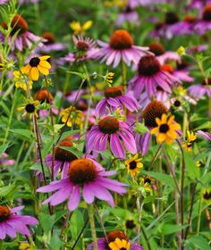 echinacea mixed with rudbeckia - tough easy to grow perennials that spread easily and also reseed; will even grow in sand, also fairly heavy clay - versatile! Long blooming season, great cut flowers.