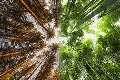 Floresta da Noruega Vs Floresta do Japão
