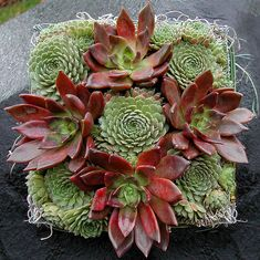 """Succulent square with hens 'n chicks - """"how to"""" in Deborah Lee Baldwin's """"Simply Succulents"""" book."""