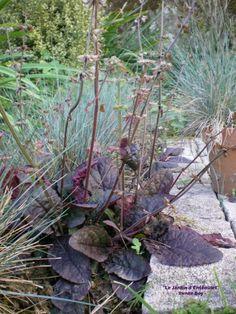 Salvia Lyrata Purple Volcano Salvia lyrata purple volcano