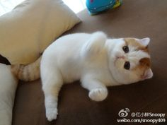 Snoopy cat is so adorable!