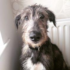 Irish wolfhound.