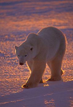 Polar bear we bear, red panda, wild creatures, wildlife art, beautiful creatures Arctic Animals, Baby Animals, Cute Animals, Baby Giraffes, Wild Animals, Beautiful Creatures, Animals Beautiful, Penguins And Polar Bears, We Bear