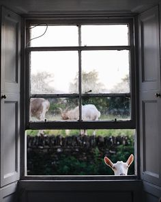 Meet the Goats at a Small Farm - Airbnb Country Life, Country Living, Ventana Windows, Down On The Farm, Window View, Through The Window, Jolie Photo, Interior Exterior, Cottage Chic