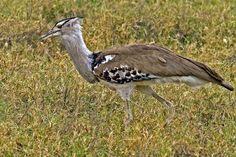 kori bustard, seen in tanzania, africa
