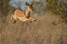 A young male impala antelope dashes across the African plains in the Kruger National Park. I try wherever possible to get as low a perspective as I can on wildlife, as that makes for a more compelling vision of the natural wonders around us. Animals Images, Animals And Pets, Baby Animals, Funny Animals, African Animals Facts, Animal Facts, Animal Tattoos For Men, Animal Sketches, Wildlife Photography
