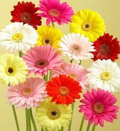 32 Mejores Imagenes De Gerberas Exotic Flowers Gerbera Daisies Y