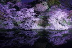 千鳥ヶ淵の桜 2016   THE PAGE 東京