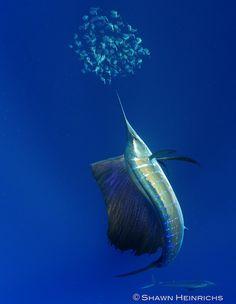 Sailfish – Isla Mujeres, Mexico 2012 | Blue Sphere Media
