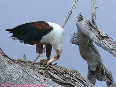 hawks and eagles | Hawks, Eagles and Friends