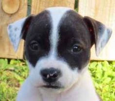Rorschach is an adoptable Pit Bull Terrier Dog in Kalamazoo, MI. Hello, Hello. My name's Rorschach (Rorsch for short), named after the Inkblot test because my markings are up for interpretation. They...