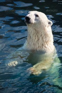 Polar bear ...  animal, antarctic, arctic, bear, big, carnivore, cold, cute, endangered, fur, hunter, mammal, nature, north, northern, paw, polar, pole, power, predator, russia, sea, swim, water, white, wild, wildlife, zoo
