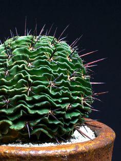 Cactus: bola contração Henda