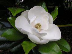 Flor da magnólia