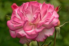 """Rosa"" by Ann Paine"