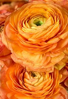 Orange Ranunculus Flowers © 2016 Patty Hankins