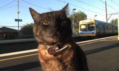 Cat Waits for Owner at Train Everyday (Video) Network For Good, Animal Welfare, Global Warming, Buses, Worlds Largest, Funny Cats, Trains, Melbourne, Waiting