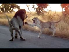 You Don't Mess With An Angry Lioness! - Latest Sightings - YouTube