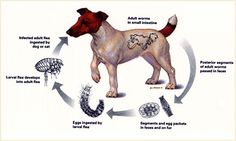 tapeworm lifecycle