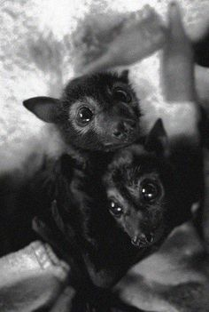Awww!! I want a fox bat!