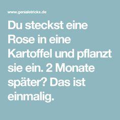 Du steckst eine Rose in eine Kartoffel und pflanzt sie ein. 2 Monate später? Das ist einmalig.