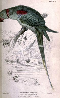 Alexandrine Ring Parrakeet, palaeornis alexandri      ...