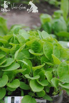 Rasaduri vinete in aprilie Seedlings, Herbs, Garden, Agri