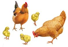 Радикал-Фото: Картинка Rooster Art, Kindergarten Activities, Bird Art, Pretty Pictures, New Image, Farm Animals, Illustrators, Wildlife, Clip Art