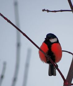 black and white and red all over bird