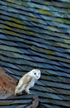 Quartering over farmland, hovering with moth like silence, flying effortlessly on the wing in the half-light at dawn or dusk is the supreme hunter, the Barn Owl Craig Jones, Nocturnal Birds, Owl Family, Dawn And Dusk, Beautiful Owl, Make Beauty, Blue Mountain, Spirit Animal, Old Things