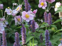 Agastache with Anemone