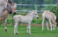 Norwegian Fjord Horses - left to right: Grey Dun (Grulla), Zebra Dun, Grulla??? Foal Coat, Red Dun Foal Coat.